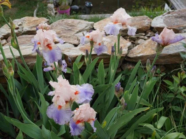 Iris 'French Cancan' - R. Cayeux 2001 Iris_t25