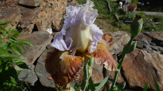 Iris 'Changing Seasons' - Schreiner 2004 Iris_t26