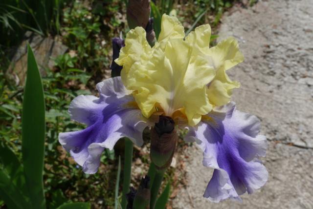 Edith Wolford - Iris 'Edith Wolford' - Hager 1984 Iris_t32