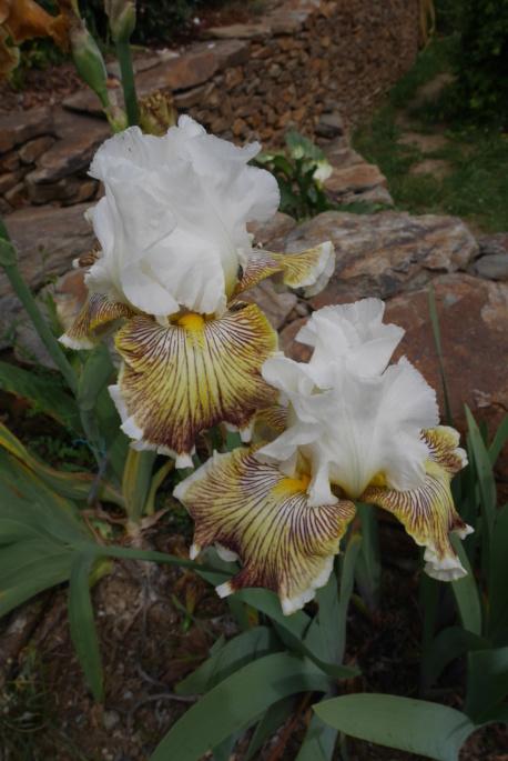 Iris 'Spring Madness' - Johnson 2009 Iris_t34