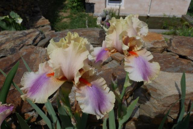 Iris 'Colette Thurillet' - Jean Cayeux 1990 Iris_t36
