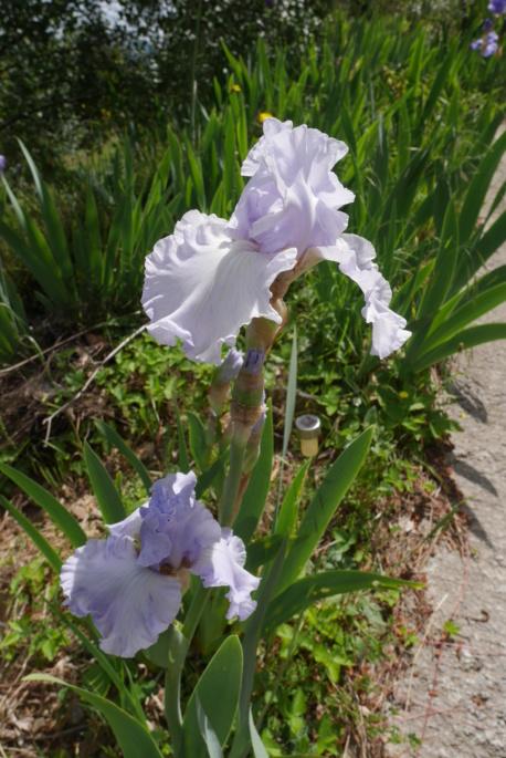 Iris 'Silverado' - Schreiner 1986 Iris_t39