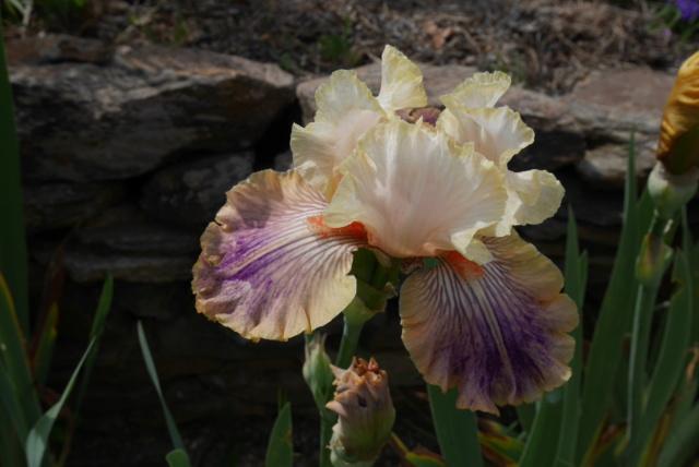 Iris 'Carnival of Color' - Paul Black 2009 Iris_t40