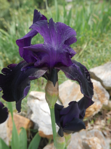 Iris 'Black Swan' - Orville Fay 1960 Iris_t43
