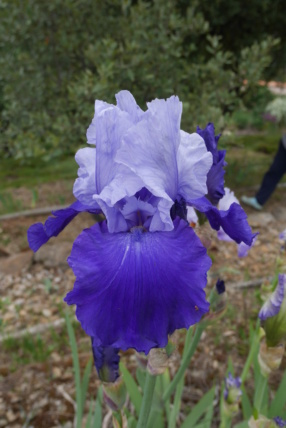 Iris 'Proud Tradition' - Schreiner 1990 Iris_t49