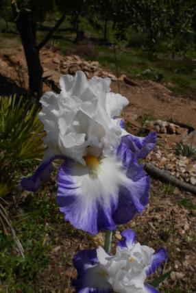 Iris 'Fabuleux' - Richard Cayeux 2002 Iris_t52