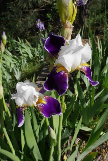 Iris 'Wabash' - Williamson 1936 Iris_t58