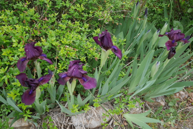 Une saison en iris (2021) Iris_x11