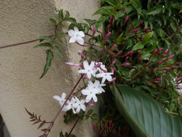 Jasminum polyanthum - Page 2 Jasmin11
