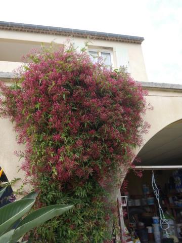 Jasminum polyanthum - Page 2 Jasmin12