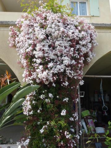 Jasminum polyanthum - Page 2 Jasmin13