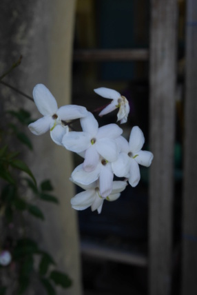 Jasminum polyanthum - Page 2 Jasmin15