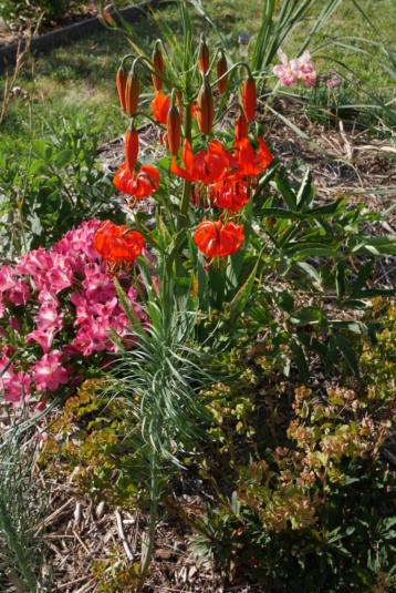 Lilium pumilum (= Lilium tenuifolium) Lilium12