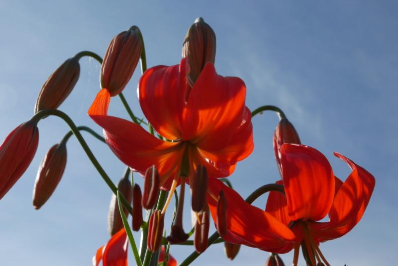 Lilium pumilum (= Lilium tenuifolium) Lilium13