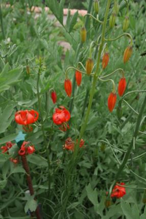 Lilium pumilum (= Lilium tenuifolium) Lilium16