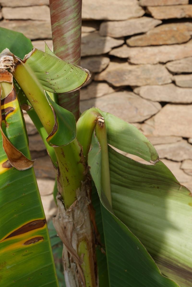Bananiers résistant au vent Musa_s10