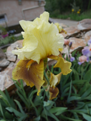 Iris 'Bayberry Candle' - Caroline DeForest 1966 P1020519