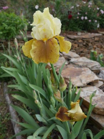 Iris 'Bayberry Candle' - Caroline DeForest 1966 P1020520
