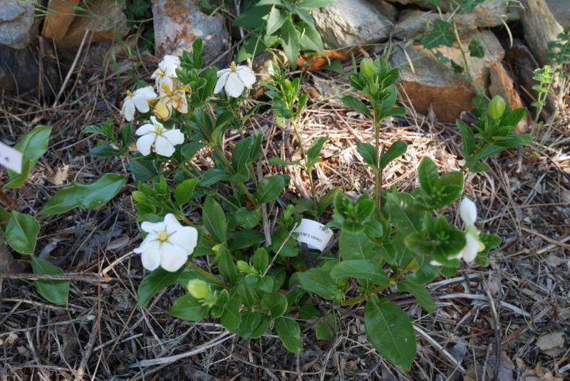 Gardenia jasminoides 'Kleim's Hardy' - Page 3 P1020717