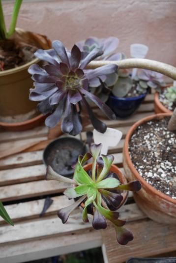 Aeonium arboreum 'Zwartkop' - Page 4 P1030011