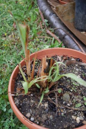 Cymbopogon citratus - citronnelle P1030516