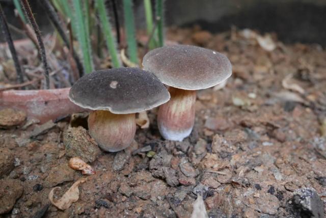champignon - identifications - Page 2 P1030612