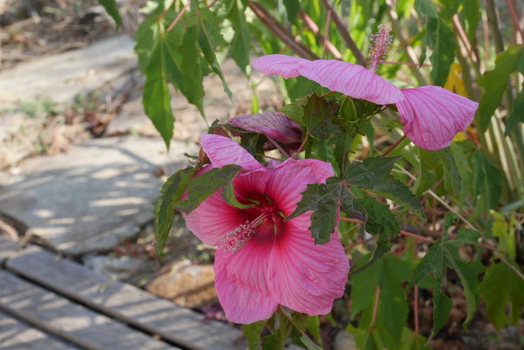 Hibiscus moscheutos - Page 5 P1030929