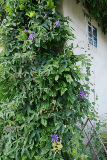 Passiflora x 'Lavender Lady' - Page 2 Passif13