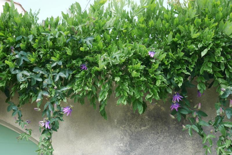 Passiflora x 'Lavender Lady' - Page 2 Passif14