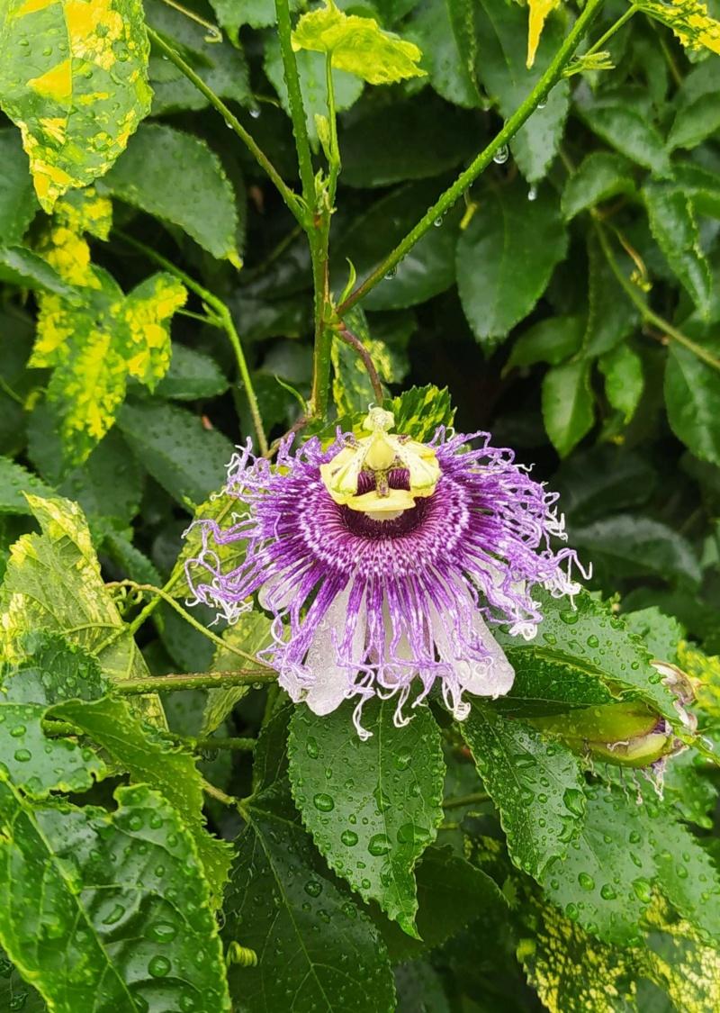 Passiflora 'Byron Beauty' - Page 4 Passif17