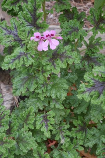 Pelargonium quercifolium Pelarg12