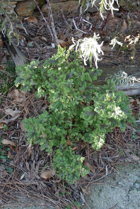 Pelargonium quercifolium - Page 2 Pelarg13