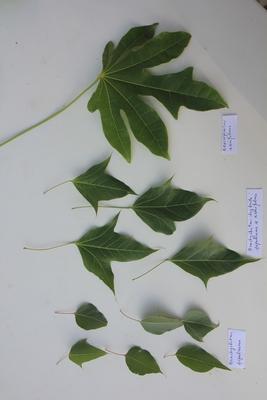 Brachychiton populneus x acerifolius Pierre11