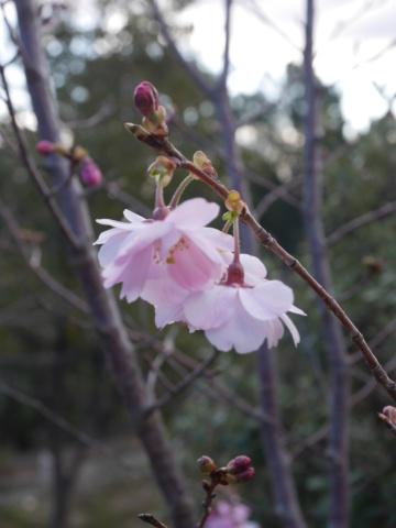 Ça bouge au jardin Prunus11