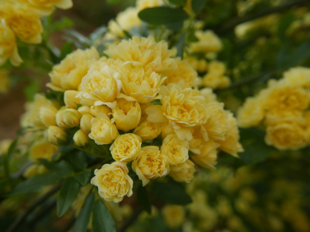 Rosa banksiae 'Lutea Plena' - Page 2 Rosa_b10