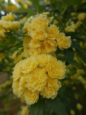 Rosa banksiae 'Lutea Plena' - Page 2 Rosa_b11