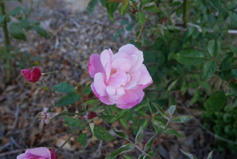 tous ces rosiers que l'on aime - floraisons - Page 7 Rosa_c11