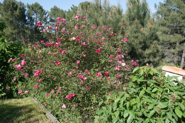 Rosa chinensis mutabilis - Page 2 Rosa_c12
