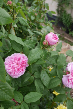 rosier 'Jacques Cartier' - Page 2 Rosa_x18