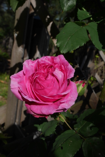 Les rosiers  parfumés Rosa_x23