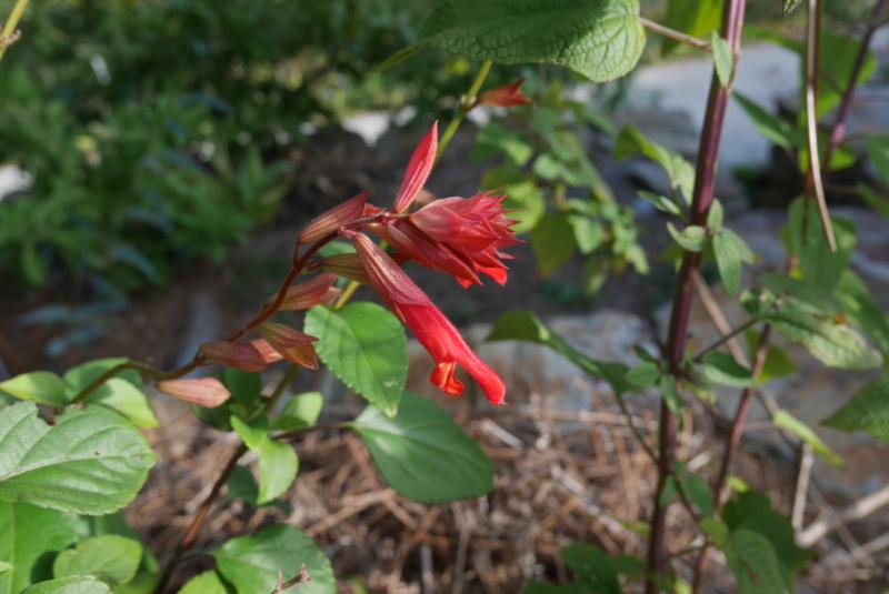 Salvia - les floraisons du moment - Page 21 Salvia14