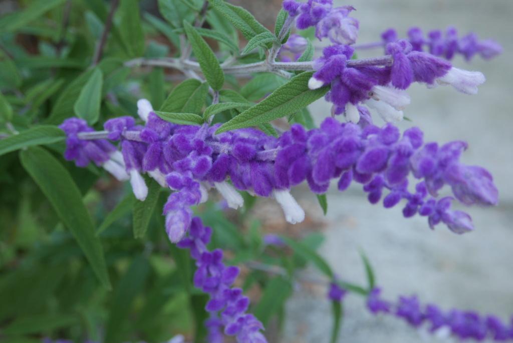 Salvia leucantha Salvia19