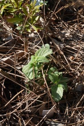 Salvia mexicana 'Limelight' Salvia21