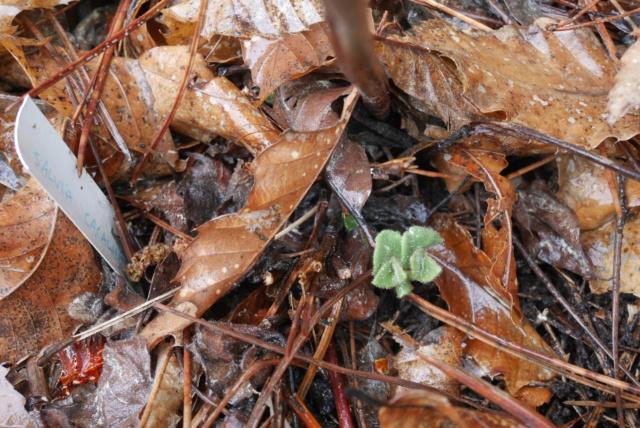 Salvia cacaliifolia - Page 2 Salvia22