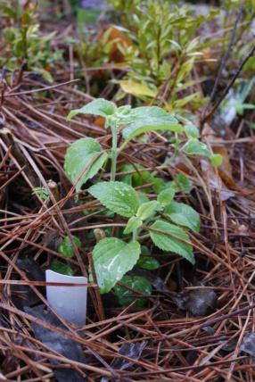 Salvia mexicana 'Limelight' Salvia23