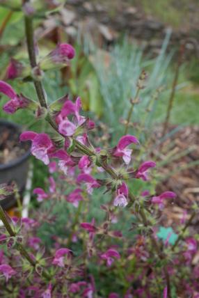 Salvia - les floraisons du moment - Page 21 Salvia24