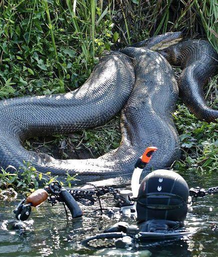 A Misteriosa Anaconda Swimmi10