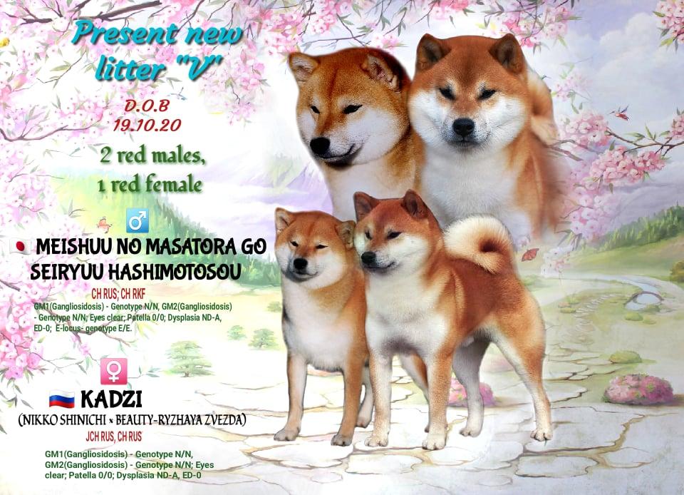 Щенки от пары MEISHUU NO MASATORA GO SEIRYUU HASHIMOTOSOU х KADZI  19.10.2020 12327013