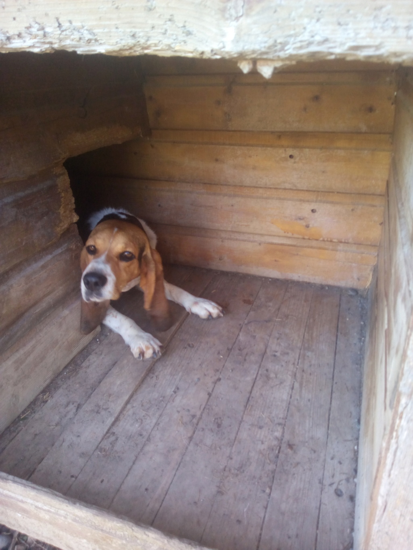 REINE (femelle croisée beagle)  - Page 2 Img_2025