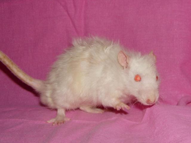Rat Angora Ap101010